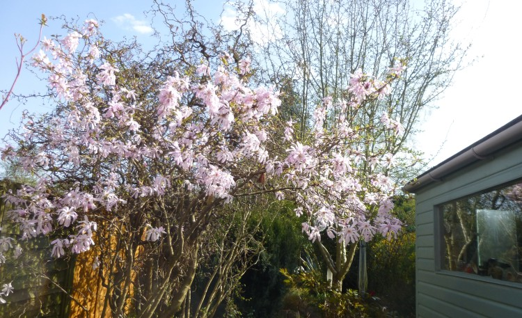 Magnolia Stellata 'Leonard Messell' outside my studio