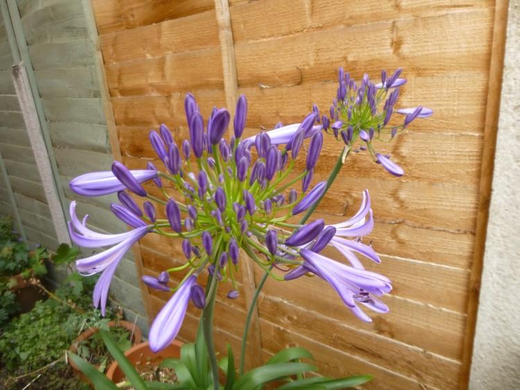 Cornflower blue from Cornwall