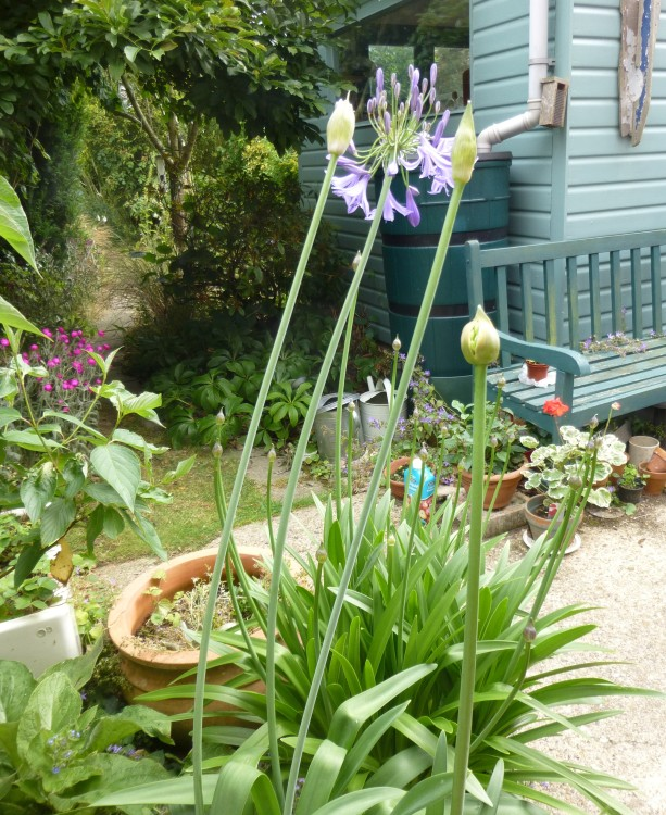 Agapanthus from Beth Chatto, with the thick foliage and much shorter tight buds of Bodnant's dark blue behind them