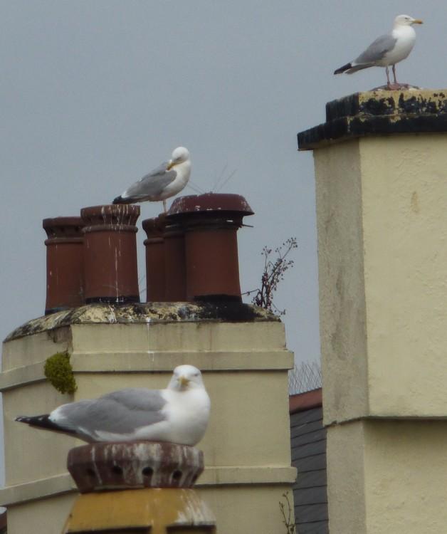 Herring gulls . . .