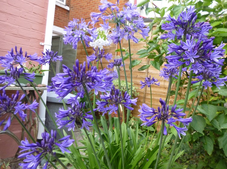 Agapanthus August 15
