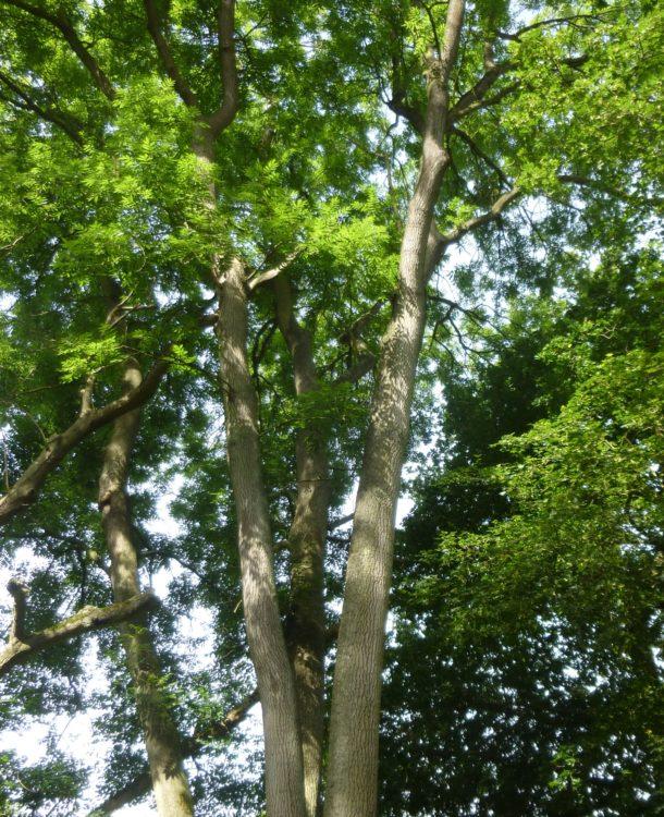 Mature ash trees