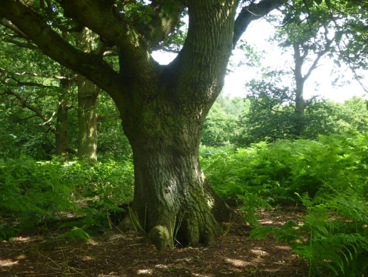 Oak in a clearing in the centre of the wood