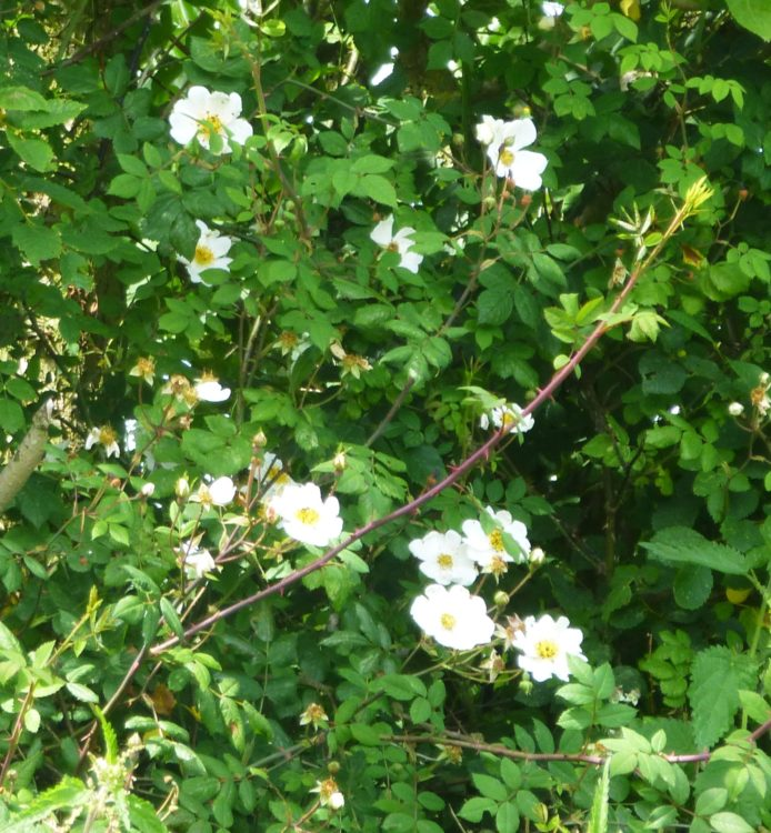 Field Roses in the hedge