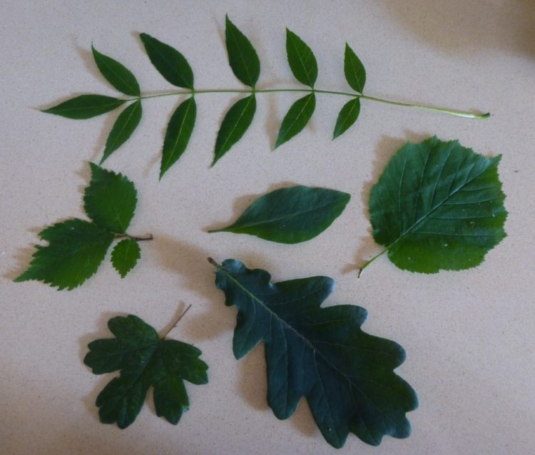 Tree leaves  - clockwise from the top, ash, hazel oak, field maple, a mystery, elder